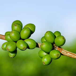 Where to Buy Green Coffee Bean Extract Capsules with Svetol